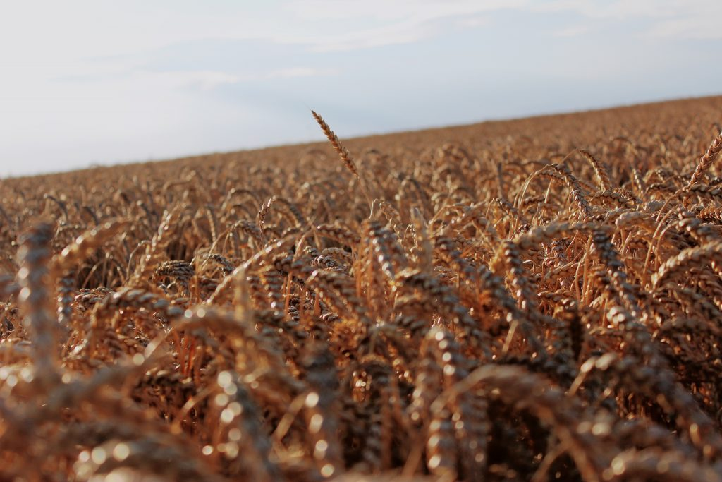 gluten wheat rye barley oats